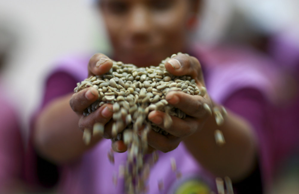 A woman from the Cafe Cooperativa Timor factory sorts coffee beans in Dili. Photo by UNMIT/Martine P