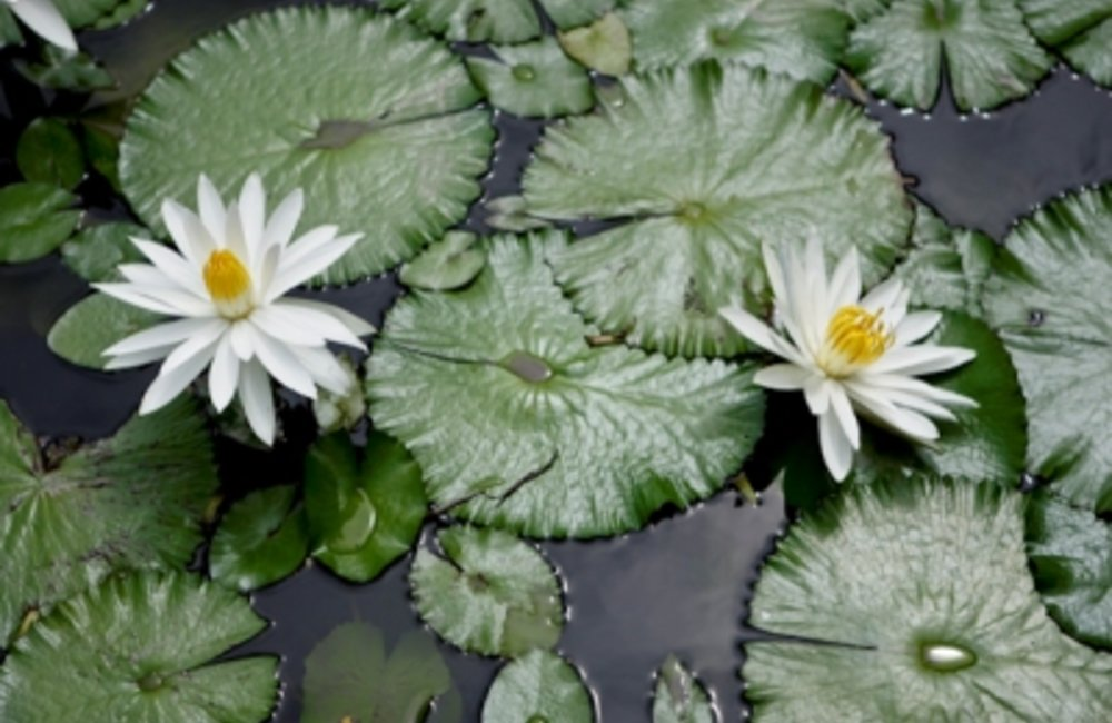 Fragrant water lilies are one of the most easily recognized of all the aquatic plants. The flowers o