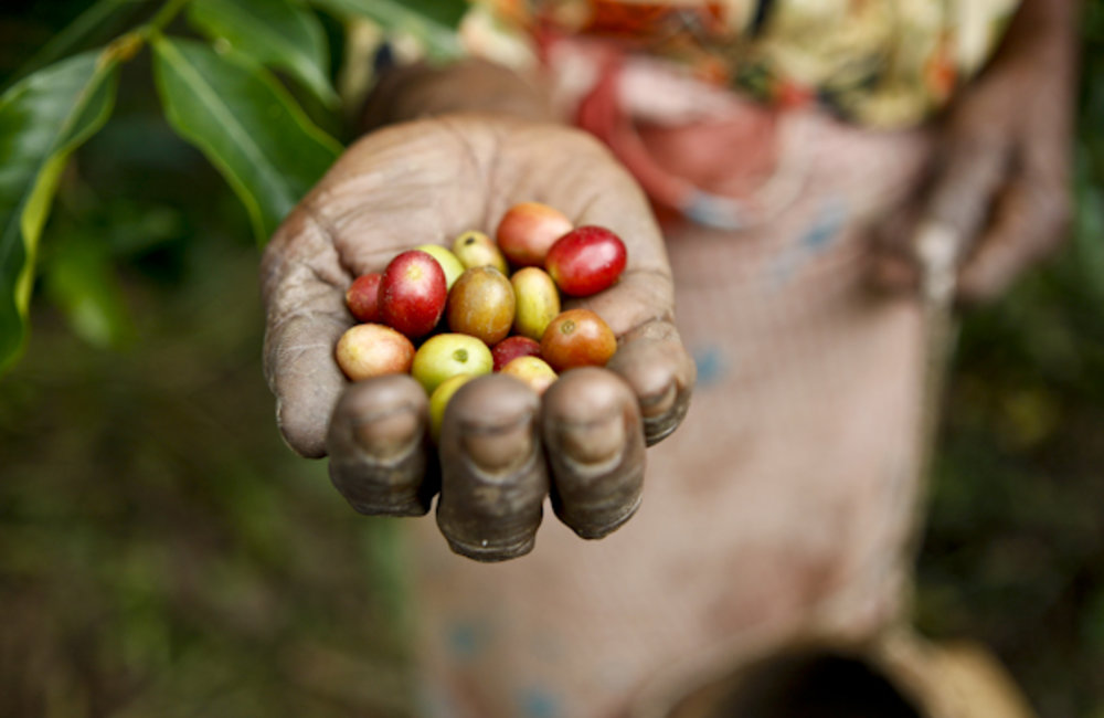 A woman picks coffee beans at a plantation in Ermera. Photo by Martine Perret/UNMIT