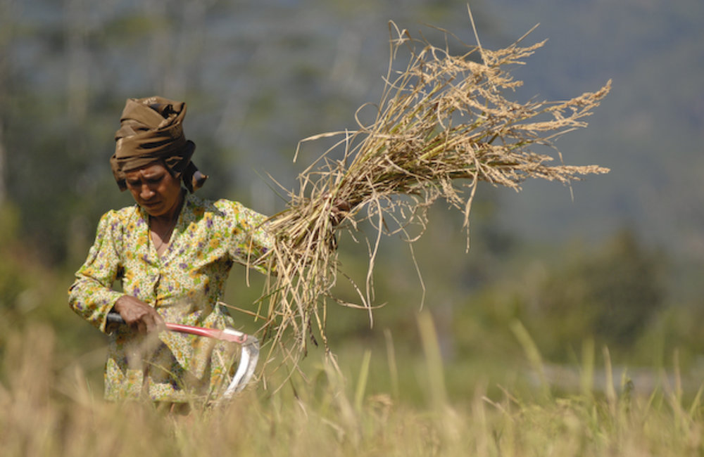 Marcelina Soares from Fatukero village, Ermera district started the rice harvest. Photo by UNMIT/Ber