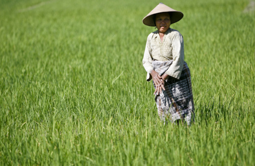 A woman from Noe Ninen in Oecusse harvests rice. Photo by UNMIT/Martine Perret