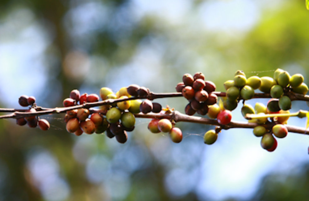For almost a century, coffee has been the most important source of cash for farmers in the highlands