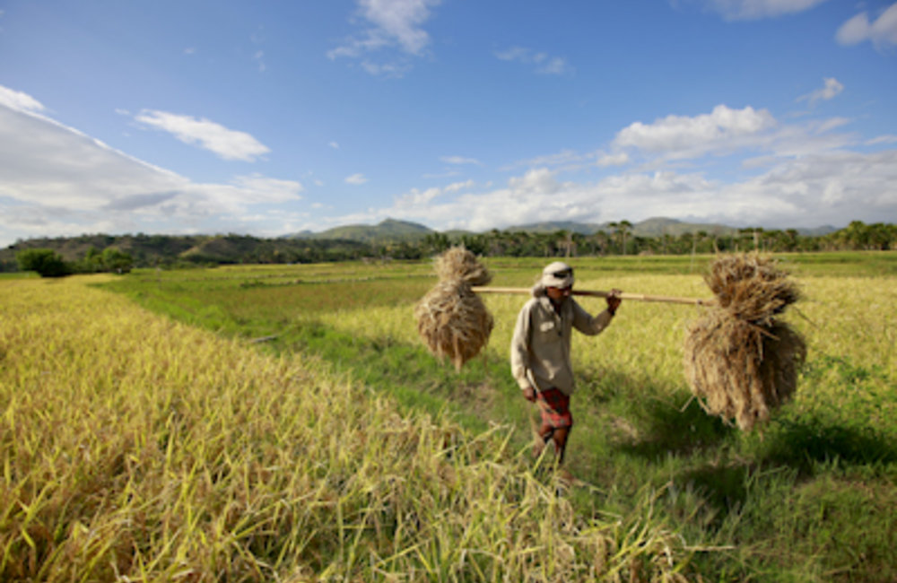 A farmer carrying rice from his field in the central lowlands of Timor-Leste. Photo Martine Perret/U