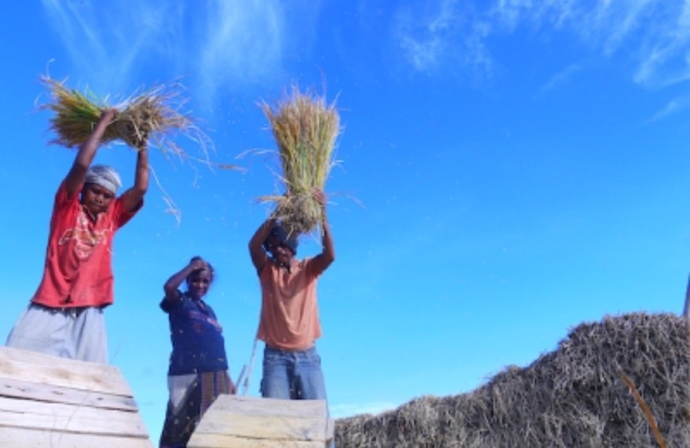 Farmers harvesting rice in Baucau. Photo by Antoninho Bernardino/UNMIT