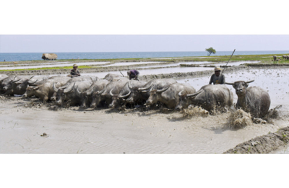 Farmers in Baucau prepare rice paddies the traditional way, with buffaloes. Photo by Cesaltino B. Xi