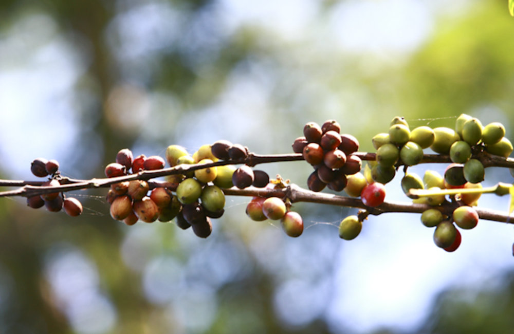 Coffee beans maturing on a branch.Photo UNMIT/Martine Perret