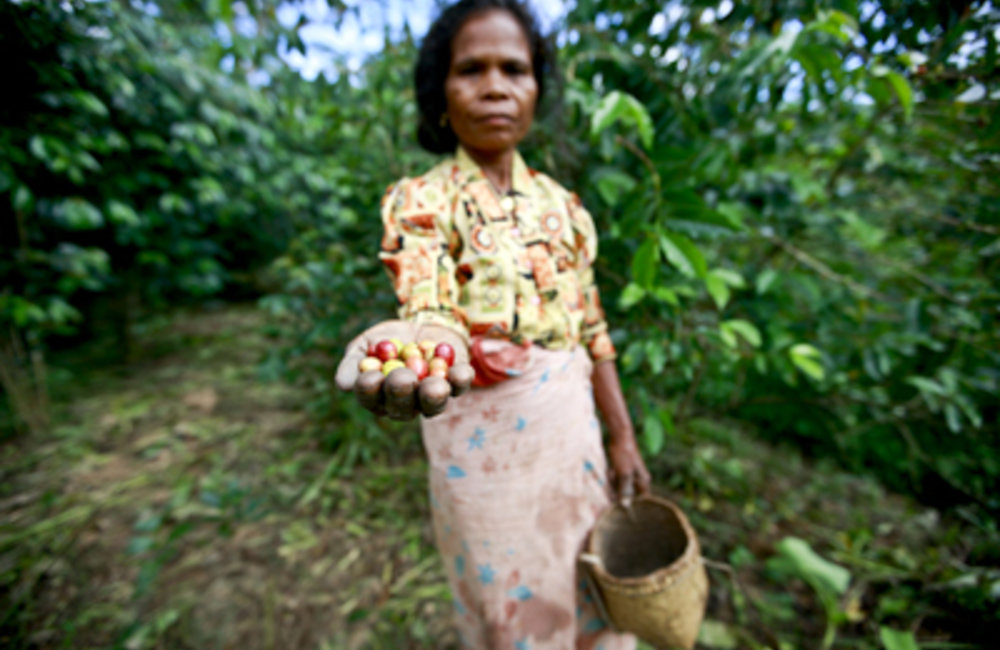 Magdalena Salsinha, a 55 year old woman from Ermera, has picked coffee for the last 40 years.   Phot