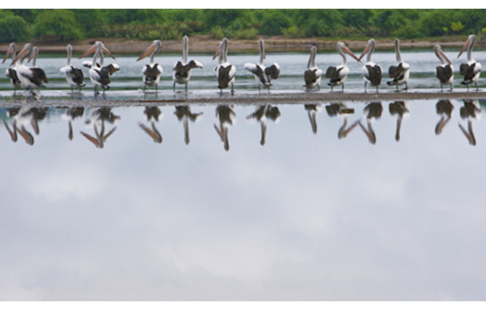 A flock of pelicans rest on a sand bank in Tasi Tolu. Photo UNMIT/Martine Perret