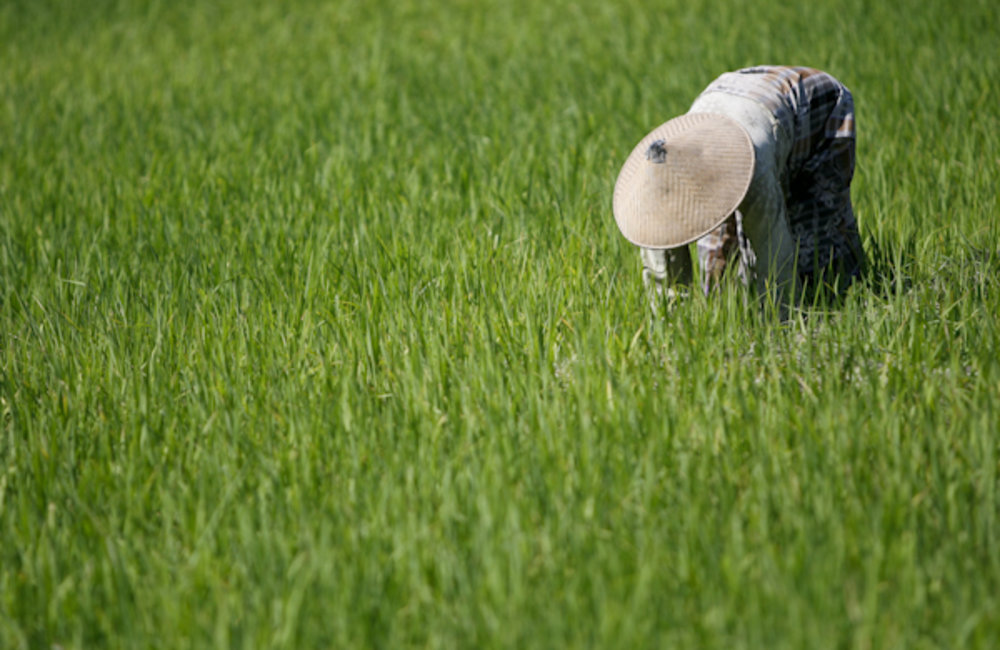 A woman from Noe Ninen, Oecusse harvests rice in her field. Photo UNMIT/Martine Perret