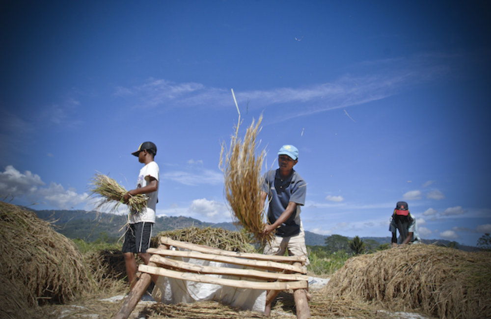 Farmers from Gleno begin the process of turning their harvest into the rice we eat. Photo by UNMIT/B