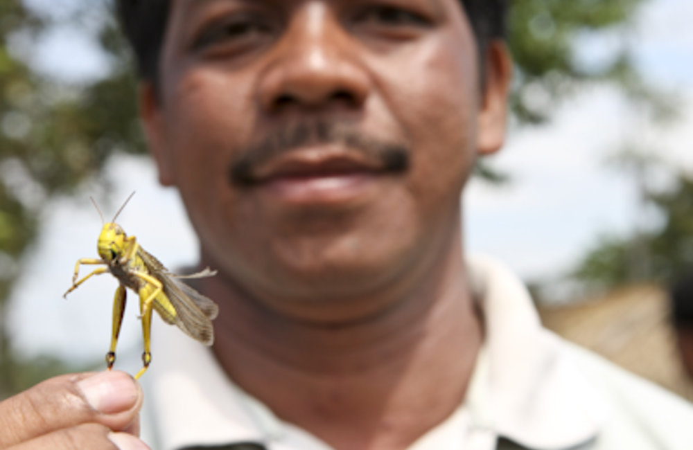 The usually shy locust can turn into one of the world's most destructive pests in a manner of hour