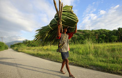 A farmer in Manatuto carrying the thick leaves of the native akadiru tree. Photo by Martine Perret/U